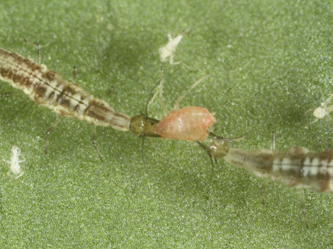 Tasman Lacewing for Aphid Control image 0