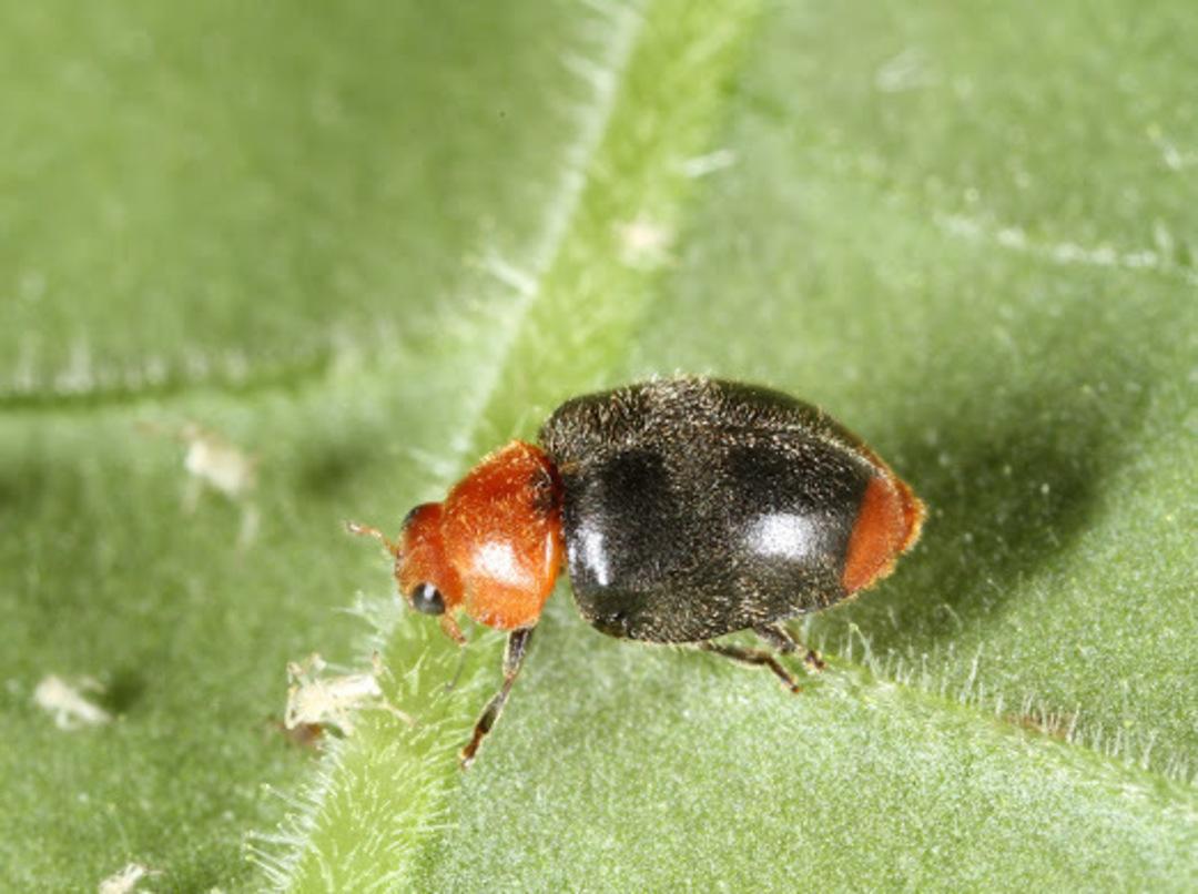 Cryptolaemus Ladybird for Mealybug Control image 0