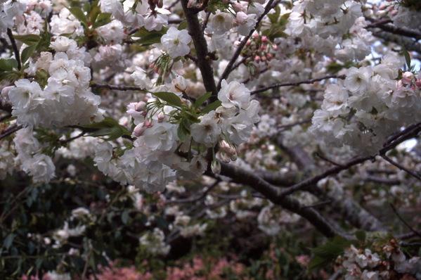 Prunus Cherry Shirofugen