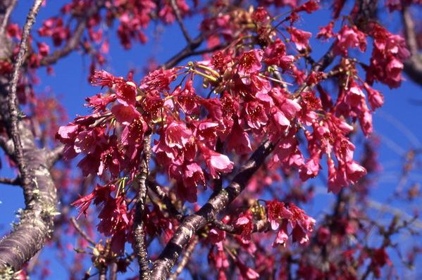 Prunus cerasifera Cherry Nigra