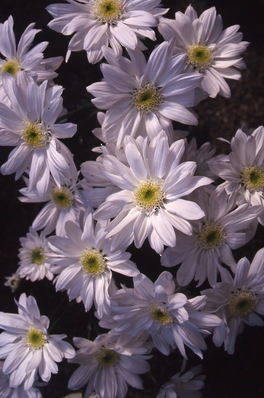 chrysanthemum - single daisy variety