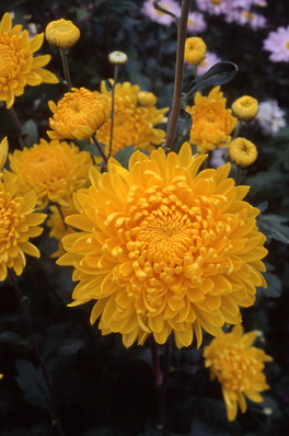 chrysanthemum - \'Bondi Gold\' incurving decorative