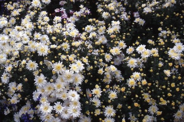 chrysanthemum - \'white charm\' cushion