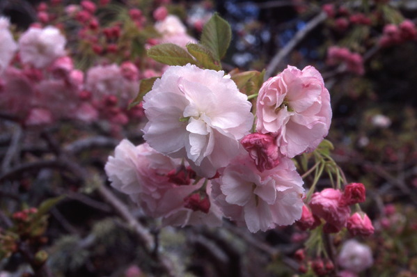 Prunus Cherry Pink Perfection