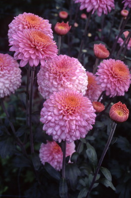 chrysanthemum - \'pink margaret\'