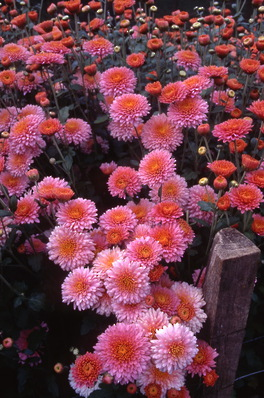 chrysanthemum - \'pink beauty\' early