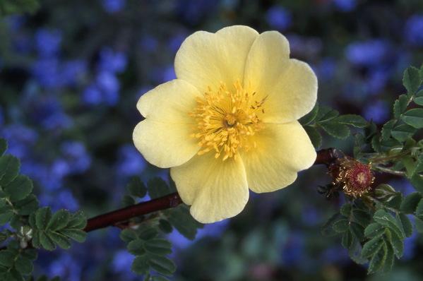 Rosa bracteata - \'Mac Artney\' Rose