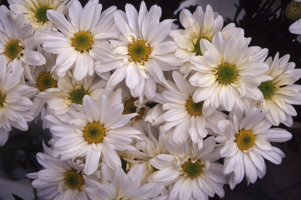 chrysanthemum - spray white