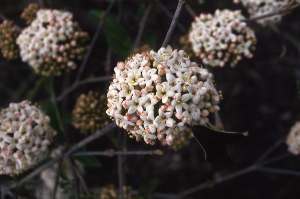 Viburnum - carlesii \'Chesapeake\'