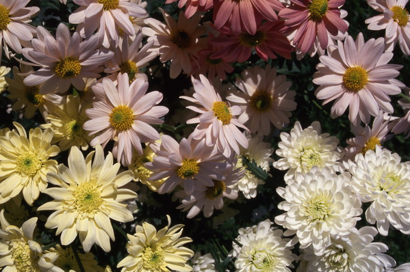 chrysanthemum - single mix from seed