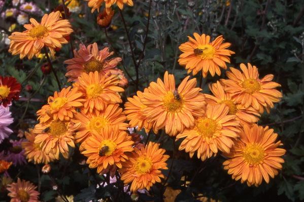 chrysanthemum - single hybrid