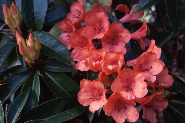 Vireya Rhododendron - Zoellen x Laetum