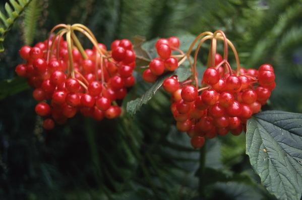 Viburnum - \'Americanum\' - in berry