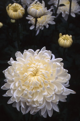 chrysanthemum - \'Gazelle\'