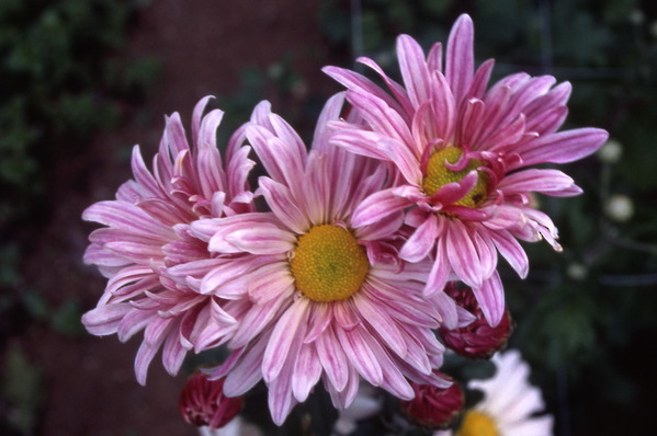 chrysanthemum - decorative single - korean