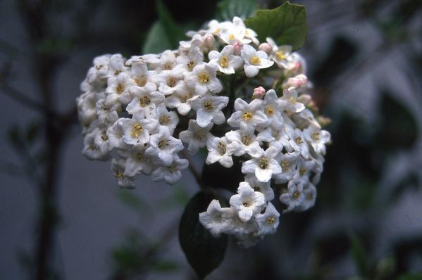 Viburnum - \'Burkwoodi\'