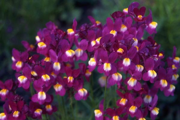 Linaria vulgaris - \'Garnet Gem\' - Toad Flax