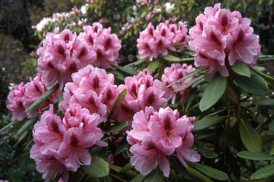 Rhododendron Mrs G W Leaks