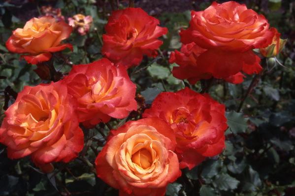 Rose \'Louise Gardner\'