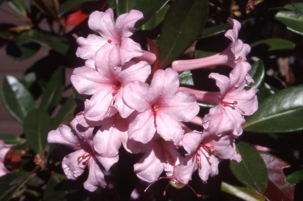 Vireya Rhododendron - \'Black Prince\'