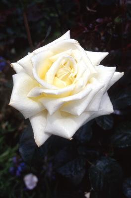 Rose \'Cameo Cream\' hybrid tea
