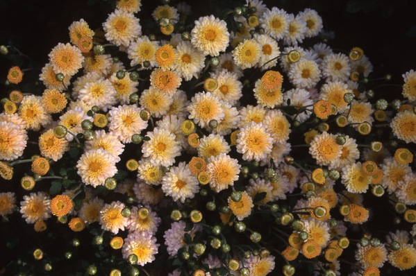 chrysanthemum - \'fred raynor\' button
