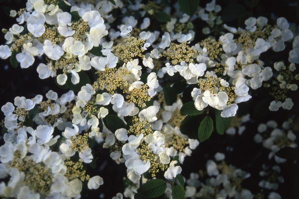 Viburnum plicatum - \'Tomentosum\'