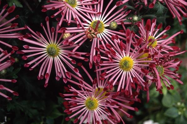 chrysanthemum - decorative quill