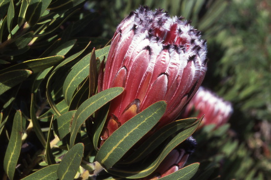 Protea nerifolia Silvertips