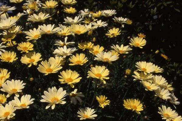 chrysanthemum - marguerite daisy - c.frutescens