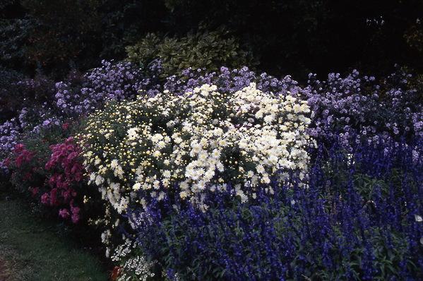chrysanthemum, aster, salvia