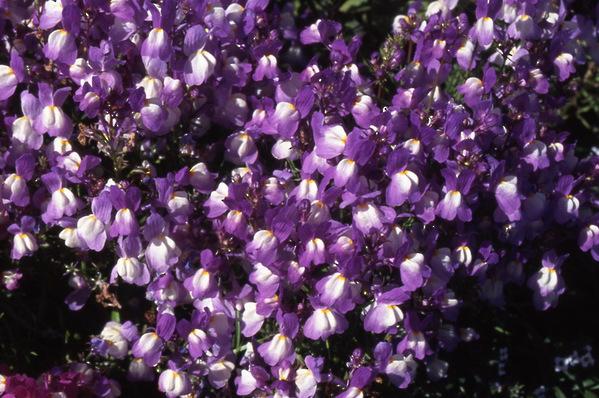 Linaria vulgaris - \'Voilet Prince\' - Toad Flax