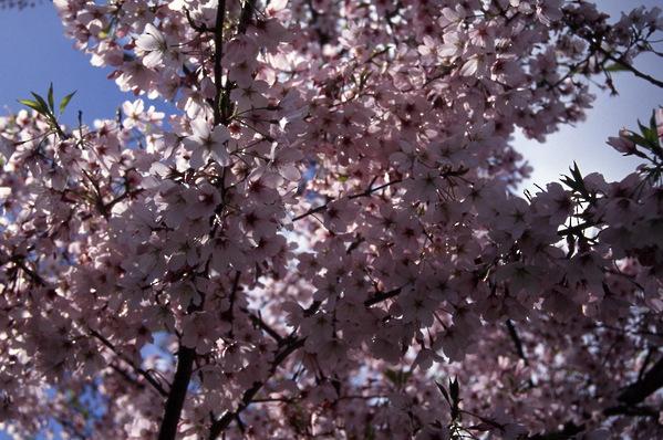 Prunus Cherry