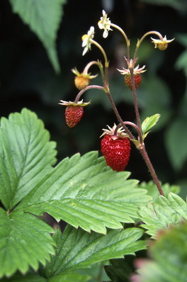 Strawberries - fragaria virginia \'wild\'
