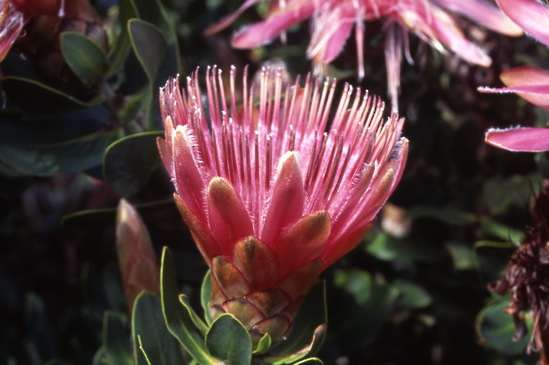 Protea aurea Goodwood Red