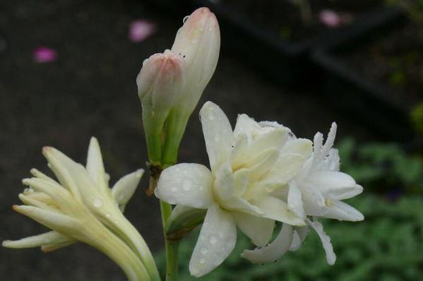 Tuberose - Polianthes tuberosa