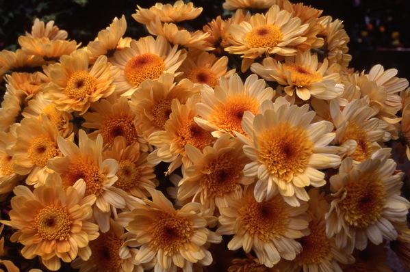 chrysanthemum - anemone centrechrysanthemum - anemone centre