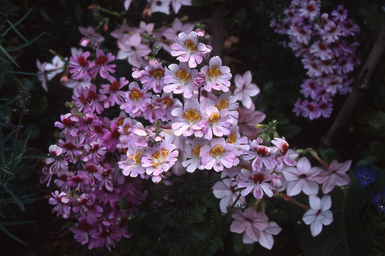 Schizanthus - Poorman\'s Orchid