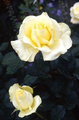 Rose \'Elina\' hybrid tea