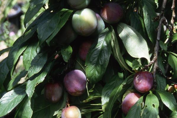 Prunus Plum Satsuma