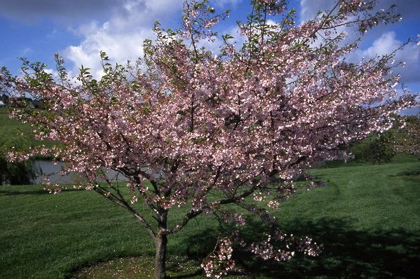 Prunus - Cherry