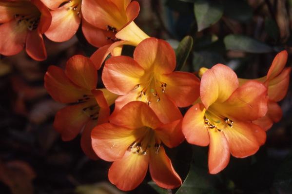 Vireya Rhododendron - \'Simbu Sunset\'