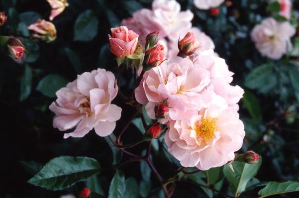 Rose \'Cornelia\' climber