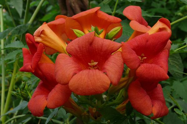 Campsis radicans - Orange trumpet Vine