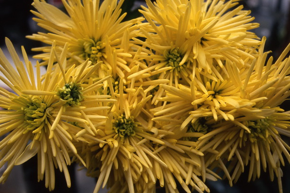 chrysanthemum - decorative spider