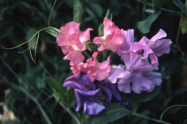 Lathyrus odoratus \'Sweetpea\'