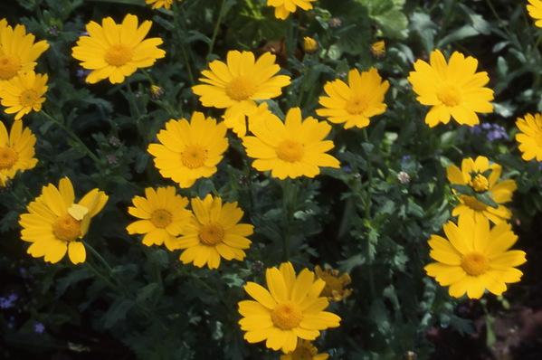 Anthemis Tinctoria - \'Yellow-ox-eye Chamomile\'