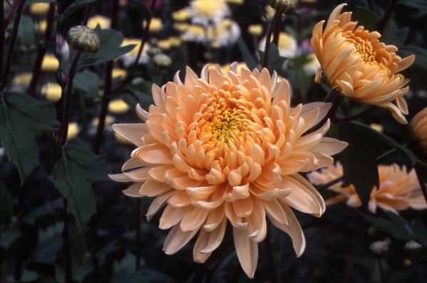 chrysanthemum - \'shantung hybrid\'