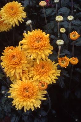 chrysanthemum - \'golden margaret star\'