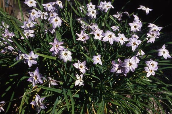 Ipheion - Spring Star Flower